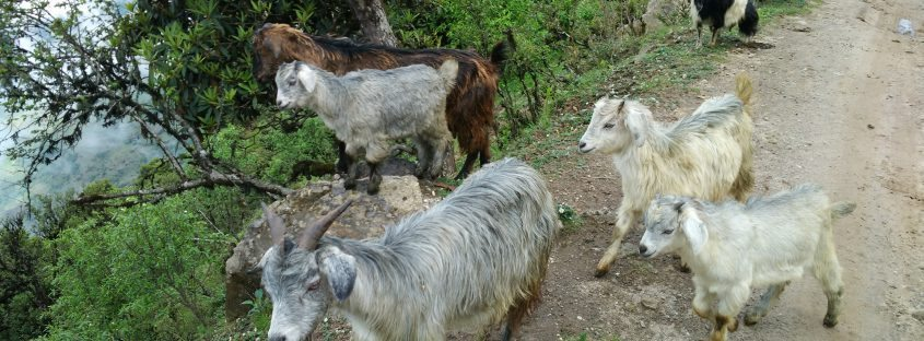 furry goat farming india