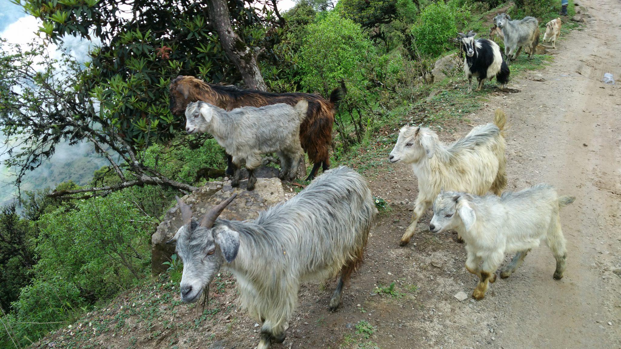 furry goat farming india