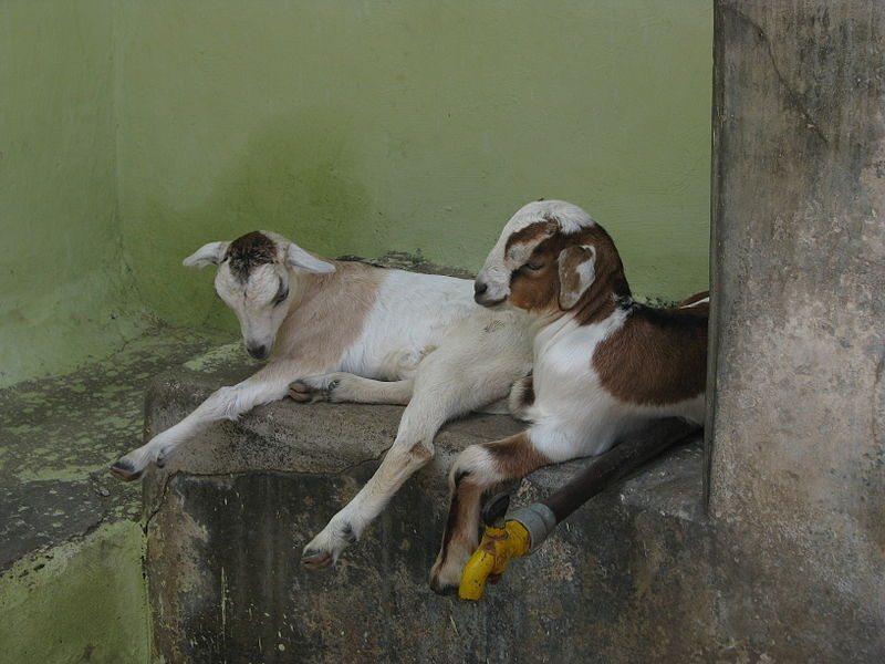 india goat breeds 1