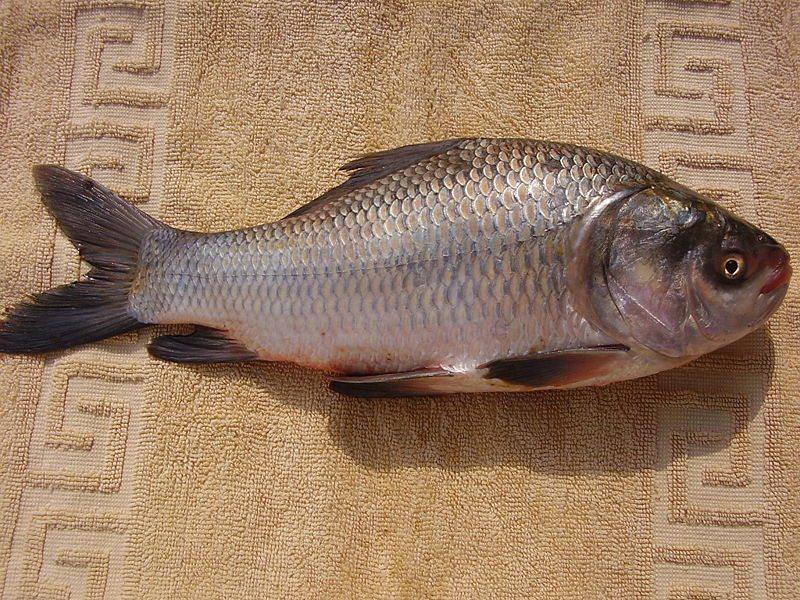 How to do Catla Fish farming- Tamil
