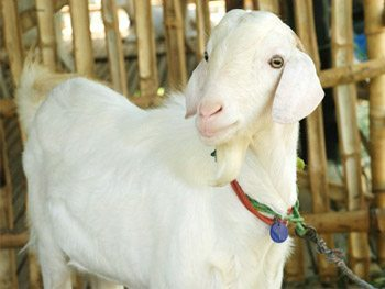 Indian Goat Breeds