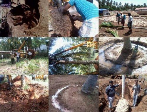 'கஜா' புயலால் சாய்ந்த தென்னை மரங்களை மீண்டும் உயிர்ப்பிக்கலாம்: நிரூபித்துக் காட்டிய வேளாண் நிபுணர்