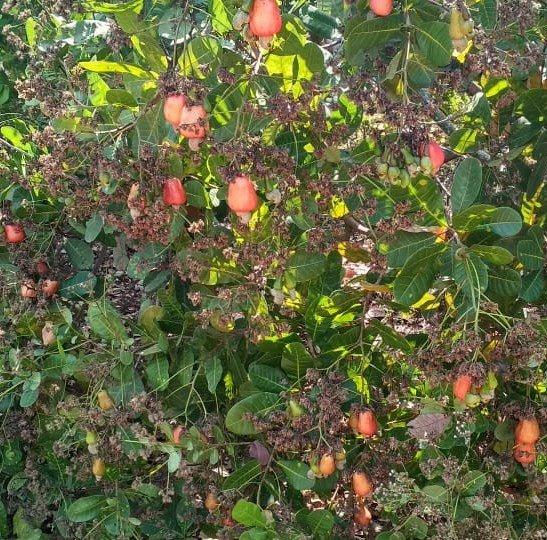 Cashew_apple