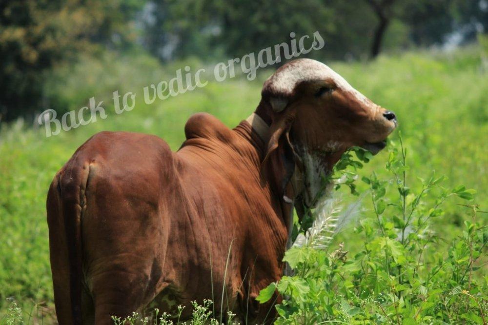 Gir cow1